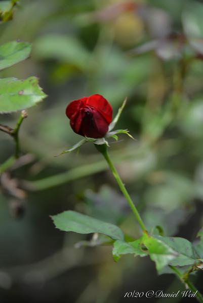 Rose in courtyard.
