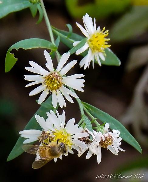 Honeybee on tiny aster