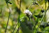 Japanese anemone, prob. Whirlwind, S of library