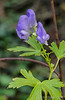 Monkshood.  Can't claim credit, I got it at Peppers in bud.