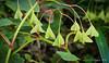 Seed vessels of Begonia grandis