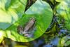 Frog, at home @ its pad.