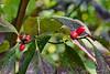 Dogwood berries.
