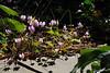 Dance of the shadows, Cyclamen hederifolium