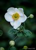 Japanese anemone, Honorine Jobert, Hesperides terr.