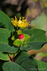 Hypericum, St. Johnswort, highway bed.  Flower & fruit (fruit??)