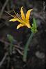 Lycoris aurea, in greenhouse