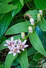 Tricyrtis under White Doyenne pear