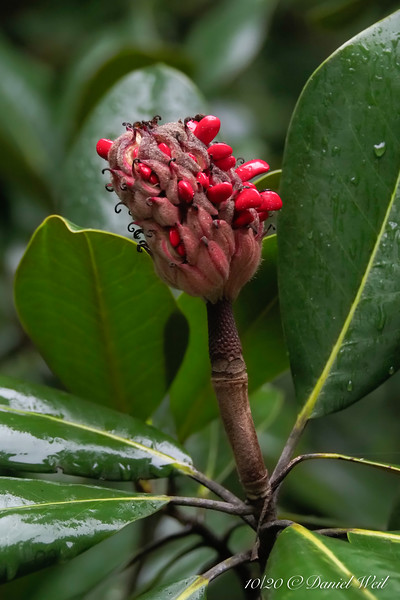 Seed cone opening on Edith Bogue magnolia. And up above, see next picture...