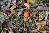 Fallen American persimmons.