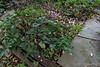 Cyclamen hederifolium, N alley/shade room walk.