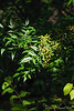 Nandina N of guest room - originally from the rescue of the VA Whitman-Walker Healing Garden, easily fifteen years ago.