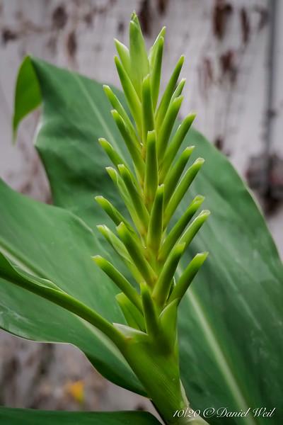 Hedychium bud cone, in greenhouse