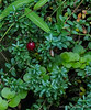 """Our cranberry crop is ripe, time to get out the turkey and mashed potatoes.  Dan says, """"You could say, tofurkey..."""""""