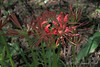 Lycoris radiata ex D. H. on library terrace
