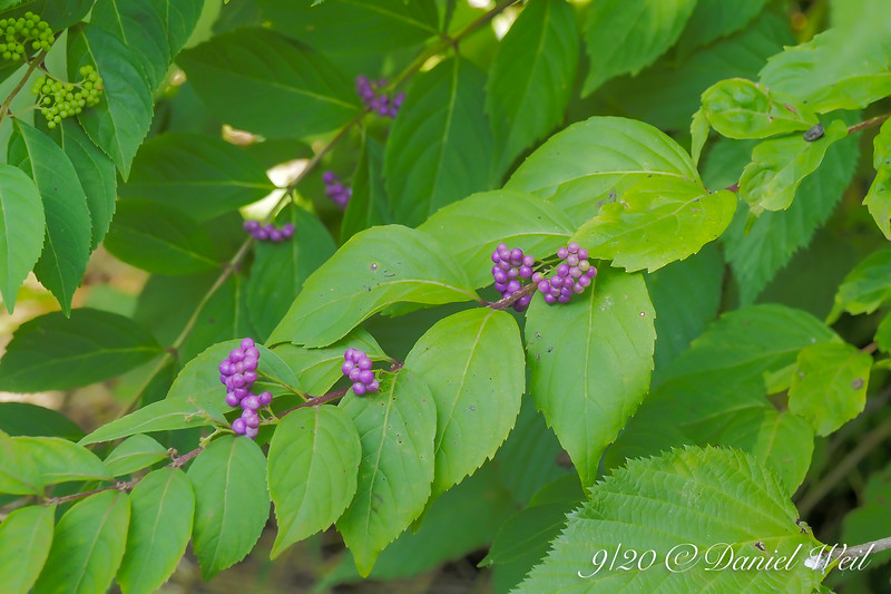 Purple beautyberry.  I THINK from a plant exchange.