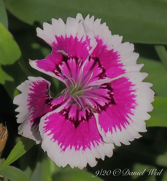 """""""Annual"""" dianthus, highway bed.  OF COURSE it's blown up!"""