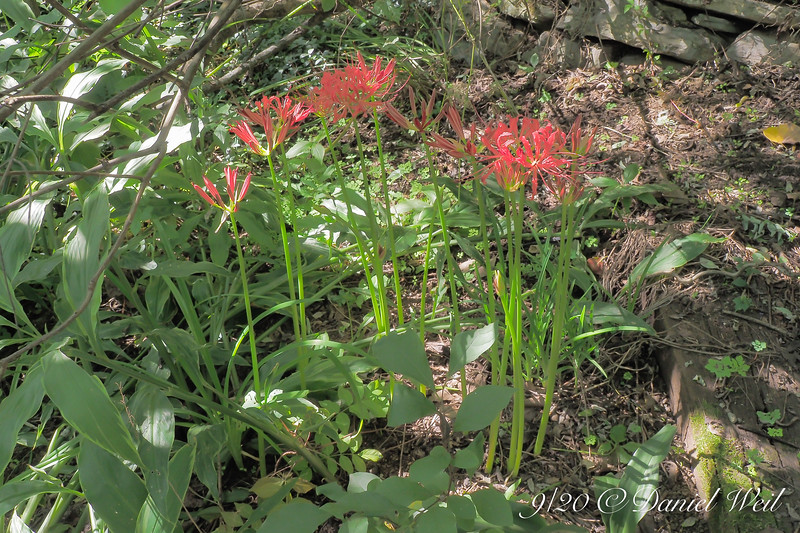 Lycoris radiata by Harry Lauder and hellebore stairs