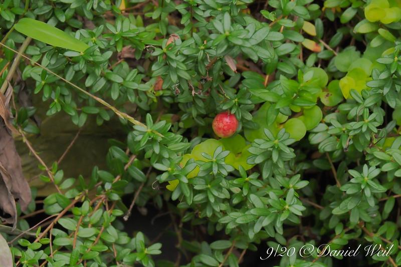 Our cranberry crop.   Our ENTIRE cranberry crop.