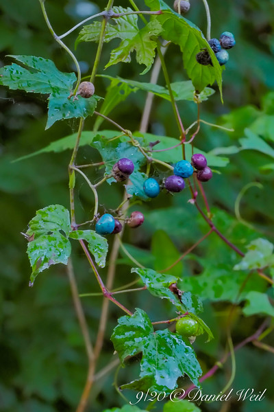 Ampelopsis, Porcelainberry.   Invasive but so beautiful.