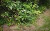 Sternbergia lutea.  E of small arbor.