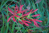 Lycoris radiata v. radiata ex Donna H.