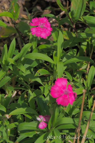 """""""Annual"""" dianthus, highway bed."""