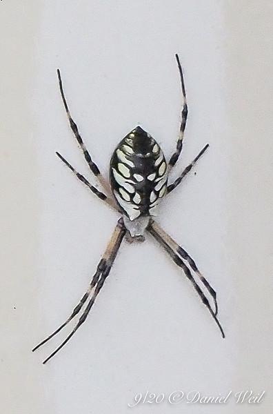 Golden orb spider (??) on white post