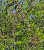 "Last flush of Vitex....the ""five foot shrub"" I planted twenty years ago is now a 25' tree...."
