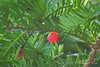 Yew berry S of front porch