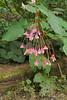 Begonia grandis, Asarum canadense.
