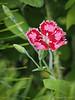 Volunteer perennial Dianthus
