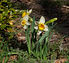 Daffodil, on L is Sarcococca confusa (blooms Jan)