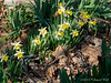 Courtyard, mini daffs, cv forgotten