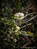 Flowering quince, hellebore walk