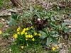Tete-a-tete (?) daffodils, lower hellebore walk
