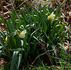 Daffodil (Witte Leeuw?) W of arbor