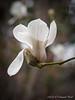 Magnolia, Back Forty.