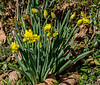 Double farmhouse daffodil (probably = Van Sion), S lawn