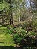 Hellebore walk.  White magnolia, deodars.
