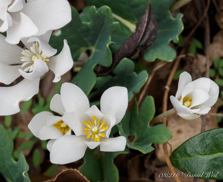 Bloodroot, S of small arbor