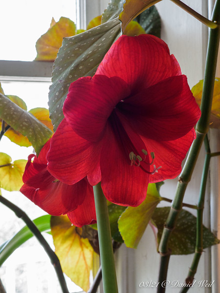 Amaryllis in living room-- they bloom on their schedule, not ours.