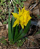 Double farmhouse daffodil (probably = Van Sion)