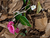 Camellia E of dining room.   Flowers for two months.   Bloodroot.   Flowers for twenty seconds.