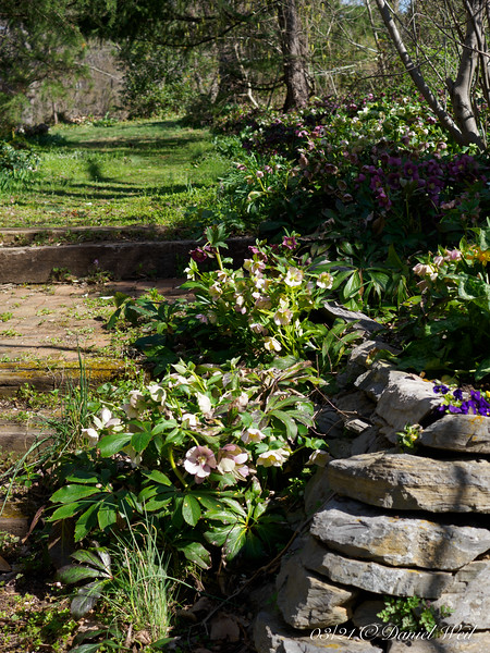Hellebore stairs, E side.