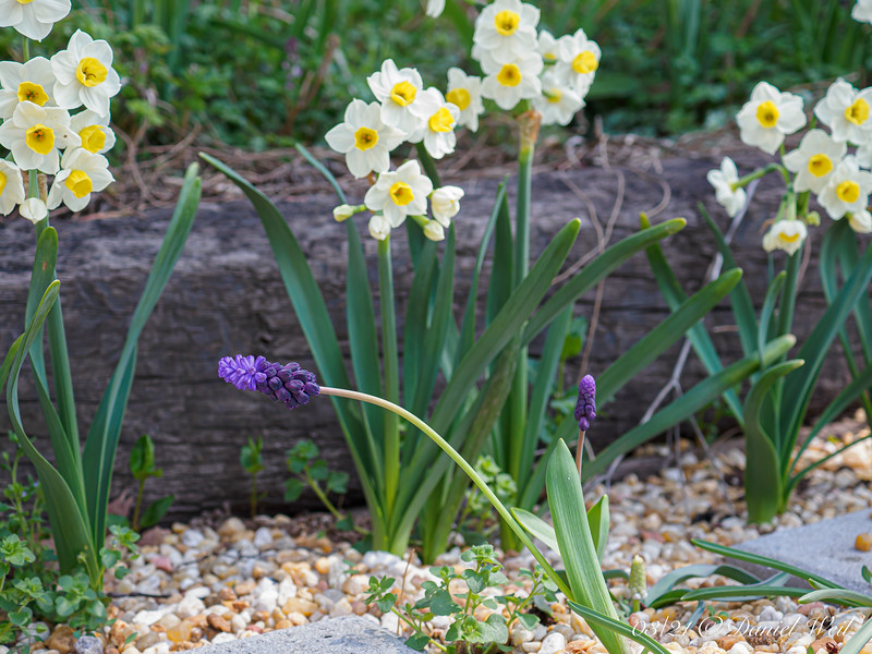 Grape hyacinths, third Hesperides terrace.  Narcissus 'Avalanche' in back....