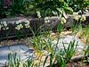 Avalanche narcissi, species tulips ex A.K., gravel walk