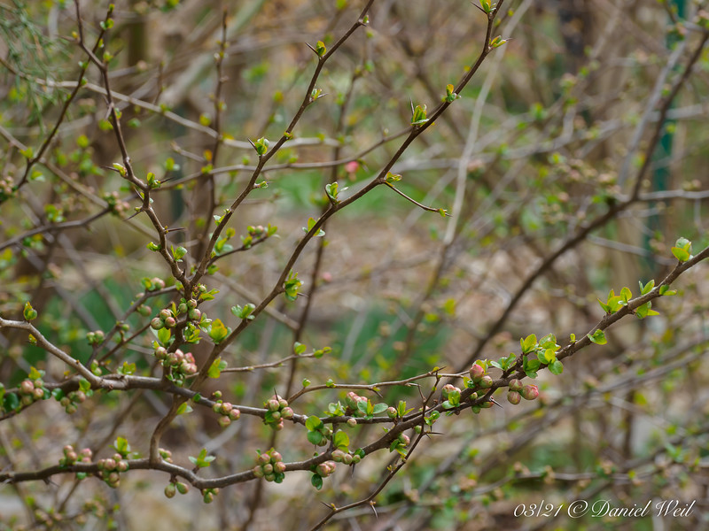 Flowering quince, stone house bank