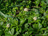 Yes, even garden geeks have Japanese pachysandra.