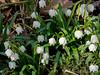Spring snowflake (Leucojum vernum), by large arbor